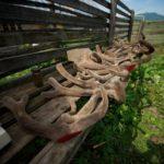 Новый урожай пантов на мараловодческом хозяйстве в Туране