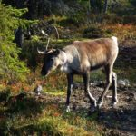Красят ли финны рога своих оленей светоотражающей краской?