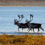 Дикие северные олени Якутии. Фото