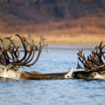 Красноярские учёные выявили изменения путей миграции диких северных оленей