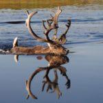 Образ жизни северного оленя