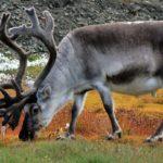 Панты – вынужденный дар оленей людям