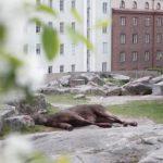 В центре Хельсинки из окна выбросился лось
