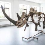 Cкелет доисторического носорога собрали в НГУ