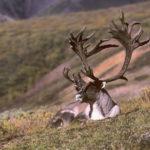 Пенисы северного оленя: полезные свойства
