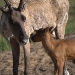 В Керженском заповеднике родился первый северный олененок