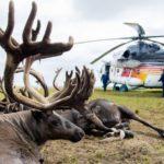 В России появились на продажу панты оленей, погибших от сибирской язвы