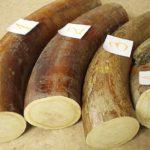 Житель Якутии похитил бивни мамонта ценностью 900 тысяч рублей