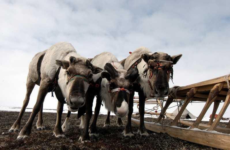 В Ямале по причине сибирской язвы могут сократить поголовье оленей