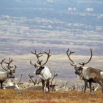 В Ямале вырастит заготовка мяса оленя