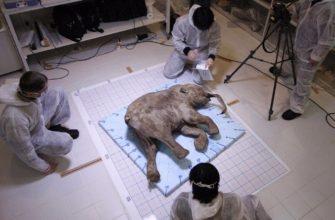 Гарвардские ученые хотят оживить мамонта
