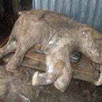 Рассказ про Ямальского мамонтёнка по имени Маша