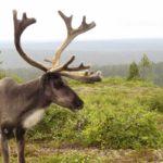 Панты северного оленя – 10 тонн контрафакта