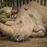 Последний белый носорог планеты