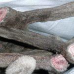 На Таймыре запретили срезывать рога диким северным оленям